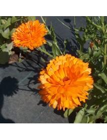 planta caléndula